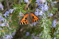 Red-Admiral-on-Rosemary-by-John-Shepherd