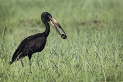 Open-Billed-Stork-With-Snail-by-Sandie-Cox
