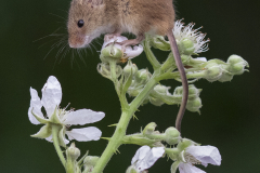 Harvest-Mouse-on-Bramble-by-Sandie-Cox